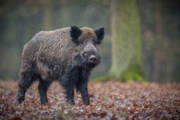 Schadensersatz aus einem Wildunfall mit Wildschwein